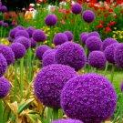 Purple Giant Allium Giganteum Seeds