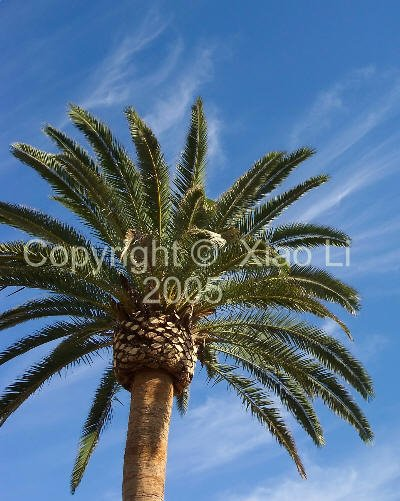 Fine Art Nature 8x10 Photo Print - Canary Island Date Palm
