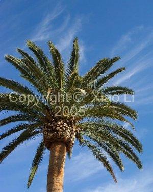 Fine Art Nature 8x10 Photo Print - Canary Island Date Palm