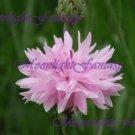 Pink Cornflower #1