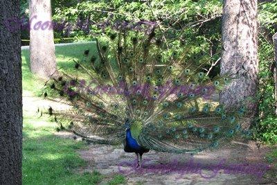 Peacock #1