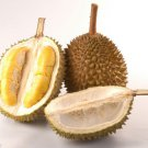 3 pcs of mini Bajul Durian Tree Flower Fruit Seeds with worldwide Shipping