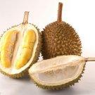 3 pcs of Petruk Durian Tree Flower Fruit Seeds  Worldwide Shipping