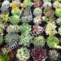 160 Rosette Echeveria Mini Succulents sale 2.5in pot Wedding Favors wholesale