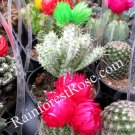 160 Assorted Mini CACTUS CACTI only 2.5in pot Wedding Favors wholesale
