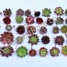 200 Sempervivum Mini Succulent Plants 50 varieties echeveria hens and chicks
