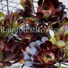 6 cuttings Aeonium dark red bouquet Black Rose cyclops Cactus Succulents plants
