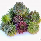 5 Sempervivum MIXED Plants 1.5 to 2.5 inches Succulent Plants hens chicks