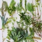 Ten unique varieties Sedum Crassula combo groundcrop cuttings Cactus Succulents