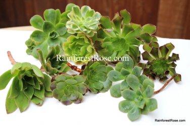 6 AEONIUM cuttings 5 unique varieties incl black rose Cactus Succulents