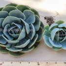 1 Blue echeveria succulent rosette 4 inch diameter for bridal bouquet statement
