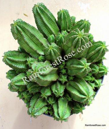 1 Tanzanian Zipper Plant Euphorbia anoplia medium cutting Cactus Succulent