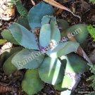 WHOLE LIVE PLANT Agave parryi truncata LARGE cactus 9 inch wide desert drought