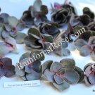 Echeveria Perle Von Nurnberg purple pink succulent rosette plants cactus