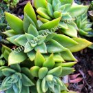 1 Echeveria agavoides Plant 4 inch wide cutting cactus succulents