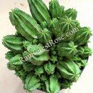 1 Tanzanian Zipper Plant Euphorbia anoplia small cutting Cactus Succulent