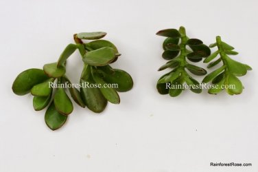 3 types Crassula Jade Succulents ET finger, argentea compacta, regular jade