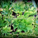 1 Aeonium green cutting succulents cactus plants no pot