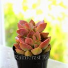 One Graptosedum California Sunset cutting Cactus Succulents plant