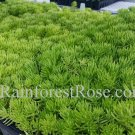 Sedum Lemon Ball cuttings Cactus Succulents plants groundcover Zone 3-10