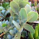 1 Kalanchoe fedtschenkoi variegata cutting Cactus Succulents plants no pot
