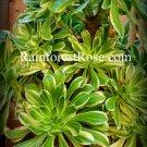 1 Aeonium arboreum tricolor cuttings large rosette Cactus Succulents plants