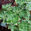 1 Aeonium green red edges cutting Cactus Succulents plants for rock garden