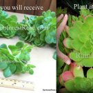 Aeonium green small and young cutting Cactus Succulents plants