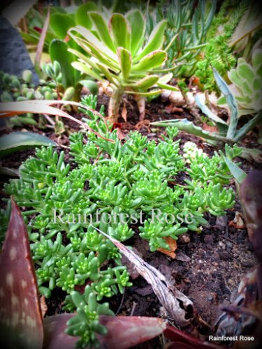 Groundcover sedum 3 cuttings FAST GROW rock garden Cactus Succulent plants