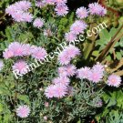 3 ice plant cuttings lavender pink flowers 2 foot tall Succulents Delosperma