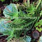 1 Mature 12inch Long LARGE Climbing Aloe ciliaris plant cutting cactus succulent