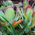 1 kalanchoe luciae flapjack cactus plant cutting succulent