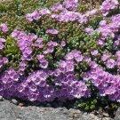 Lampranthus Oscularia deltoides Vygie Violet Lavender succulent ice plants