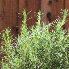 FRESH Rosemary leaves 12 Sprigs Organic Rosmarinus Homemade Hand Picked