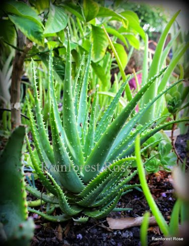 1 LARGE Spider Aloe spinosissima plant with roots attached cactus succulents