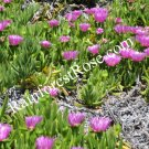 LOT 3 pounds Carpobrotus Hottentot cuttings PURPLE flowers Ice Plants delosperma