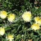 LOT 3 pounds Carpobrotus Hottentot cuttings YELLOW flowers Ice Plants delosperma