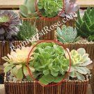 WHOLE LIVE PLANT Aeonium bush many rosettes rooted Cactus Succulent