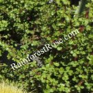 portulacaria afra elephant bush diet food Succulents fast grower 1 cutting