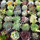 49 Echeveria rosettes plugs 2 inch wide Succulent Plants wedding favors NO POTS