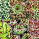 100 Sempervivum MIXED Plants NAMED hardy 10 types Mini Succulent hens chicks