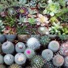40 Assorted succulents and cactus 2 inch pots cacti succulent plants