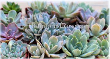 40 potted rosette ECHEVERIA succulents 15 varieties pots wedding favors