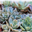 20 echeveria succulents 2 inch pots 15 different varieties mini plants