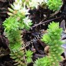 Sedum liebmannianum, oaxaca state, mexico, stonecrop crassulaceae succulent cut