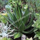 AGAVE lophantha plant with roots succulent cutting cactus