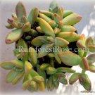 1 Golden Sedum adolphii cutting Cactus Succulents plants no pot