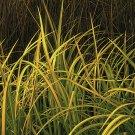 Acorus gramineus Oborozuki (38) Golden Sweetflag ornamental grasses Zone 4-11