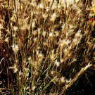 Andropogon ternarius (38) Bluestem Grass grasses cell tray Zone 6-9 wholesale