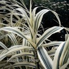 Arundo donax Peppermint Stick 21 ornamental grasses Product USA Zone6-11